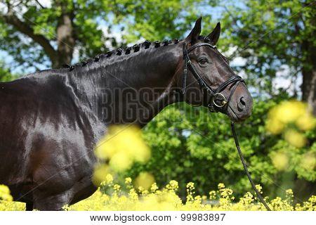 Amazing Black Dutch Warmblood With Yellow Flowers