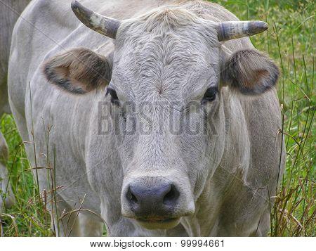 Fisheye View Of Cow Mammal