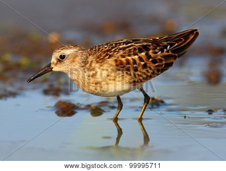 Least Sandpiper Shorebird (Calidris minutilla) or Peep