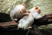 Silvery marmoset (Mico argentatus). Wild life animal.  poster