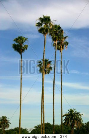 Tall Palms poster