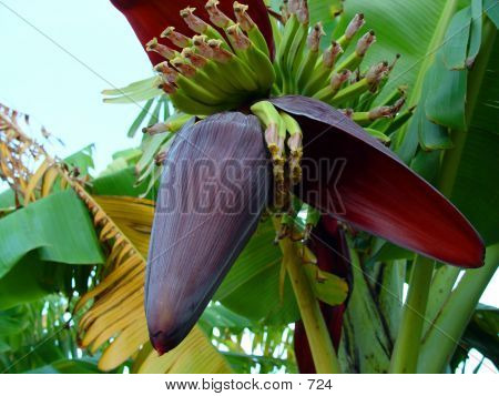 Banana Tree With Young Fruit