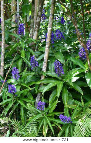 Blue Ginger Plant