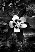 flower, black & white, nature, contrast, blommor, svart, vit poster