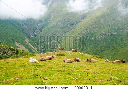 Cows Resting In The Mountains In Pyrenees