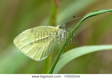 Grote Cabbage White