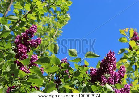 Flowers Of Lilac On The Big Bush