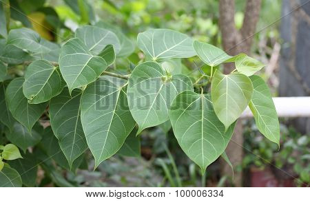 Green Leaves Of Bodhi Tree.