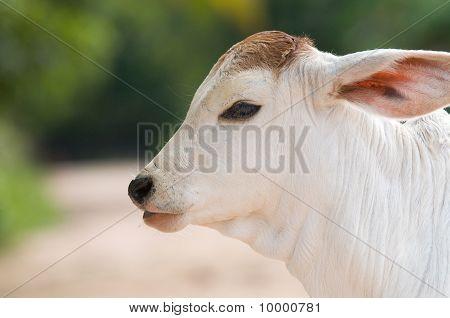 大耳朵的可爱、 年轻小牛