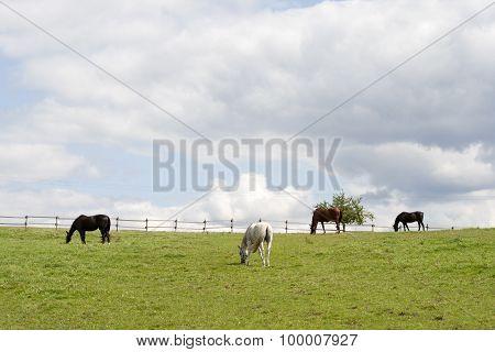 Horses grazing free on paddock