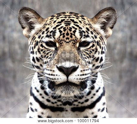 Leopard Staring At The Camera.