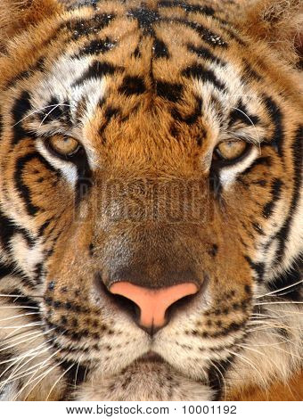 Close Up Of Penetrating Eyes Of Bengal Tiger, Thailand, Asia