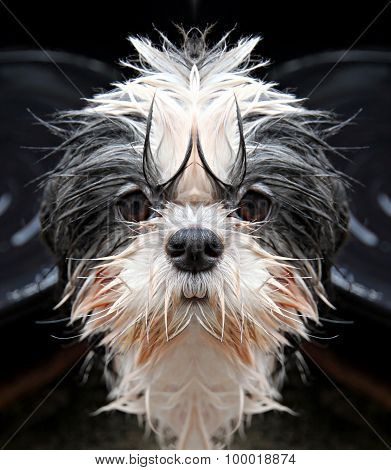 Shih Tzu Dog Staring At The Camera.