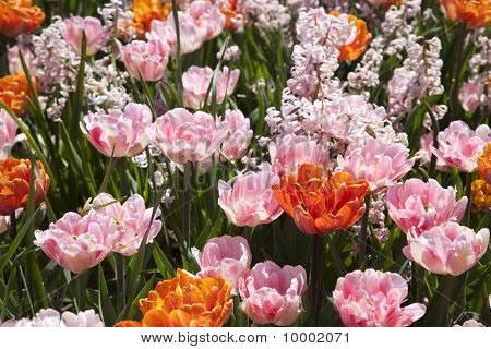 Double Spring Tulips