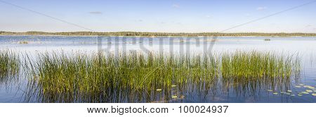 Panorama Of Green Reed Grow In A Lake
