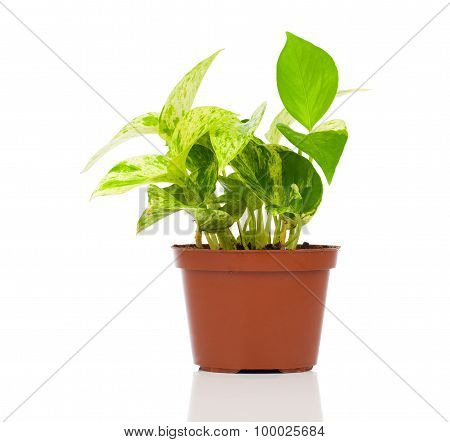 Epipremnum Aureum (family Araceae) Plant In Pot, Isolated On White Background. Family Araceae