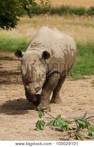 Black Rhino walking in sun shine