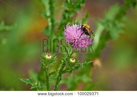 Bumblebee  On A Flower Thistle.