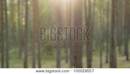 blurred pine forest in summer