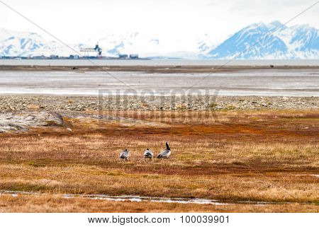Birds In Arctic Tundra, Svalbard, Norway
