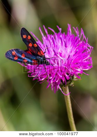A Moth Six-spot Burnet (zygaena Filipendulae) On A Purple Flower