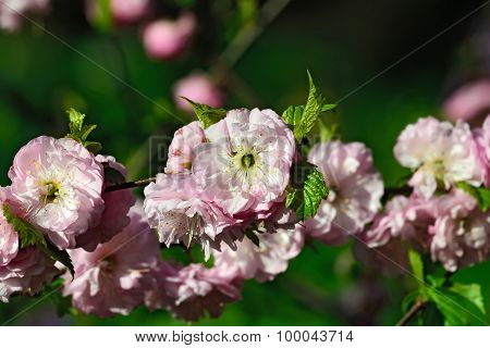 Almond Blossoms (prunus Triloba Plena)