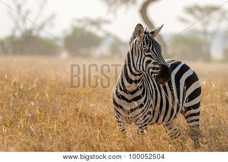 Zebra In Serengeti National Park