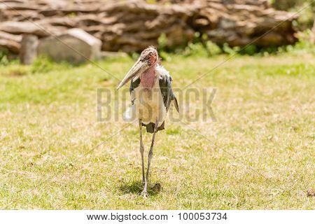 The Marabou Stork, Leptoptilos Crumenifer In Serengeti National Park, Tanzania