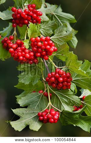 Branch Of Red Viburnum Berries