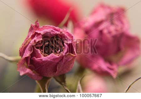 Shrivelled Pink Rose