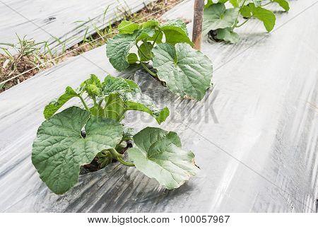 Closeup of Cantaloupe plants in the garden