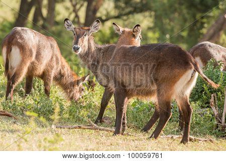 Defassa Waterbuck Antelope In Ngorongoro