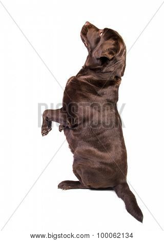 Concentrated and hungry chocolate labrador dog girl is begging for food. Isolated on the white background