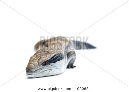 Blue Tongue Lizard #1