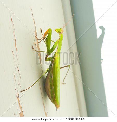 Praying Mantis on Door Frame