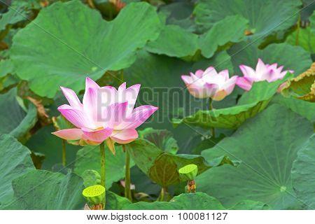 Pink Lotus (nelumbo Nucifera Gaertn.)