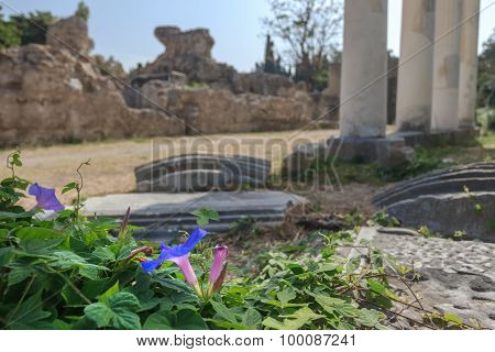 Flowering Ipomoea indica plant at antique colonnade of ancient Greek west gymnasium blurry backgroun