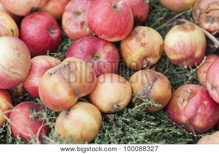 Fallen Rot Apples