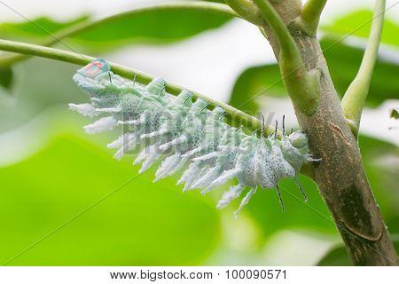 Attacus Atlas Moth Caterpillar