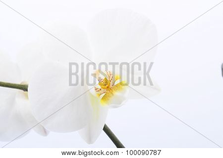 White Flower Orchid