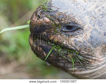Galapagos Giant Tortoise Eating