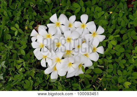 Circle White Plumeria or Frangipani on green Pinto Peanut