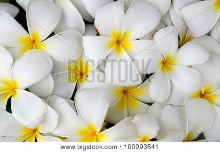 White Plumeria or Frangipani  nature abstract background