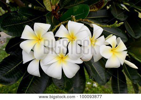 White Plumeria or Frangipani  and leaf on tree