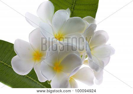 Frangipani (lan Thom) Flower