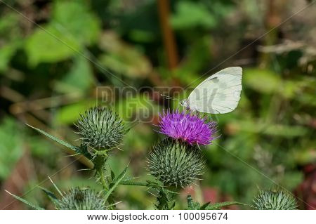 White Butterfly Sitting On Thistle Flower