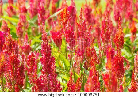 colorful celosia flower