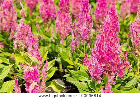 colorful celosia flower background