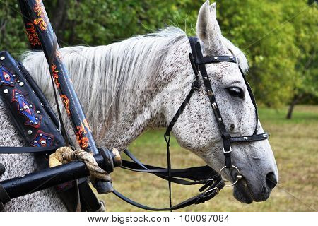 Head Of White Dappled Horse With Harness (bridle Arc Hohloma Style, Collar) Close-up