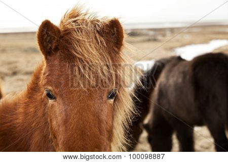 Closeup Of A Brown Icelandic Pony